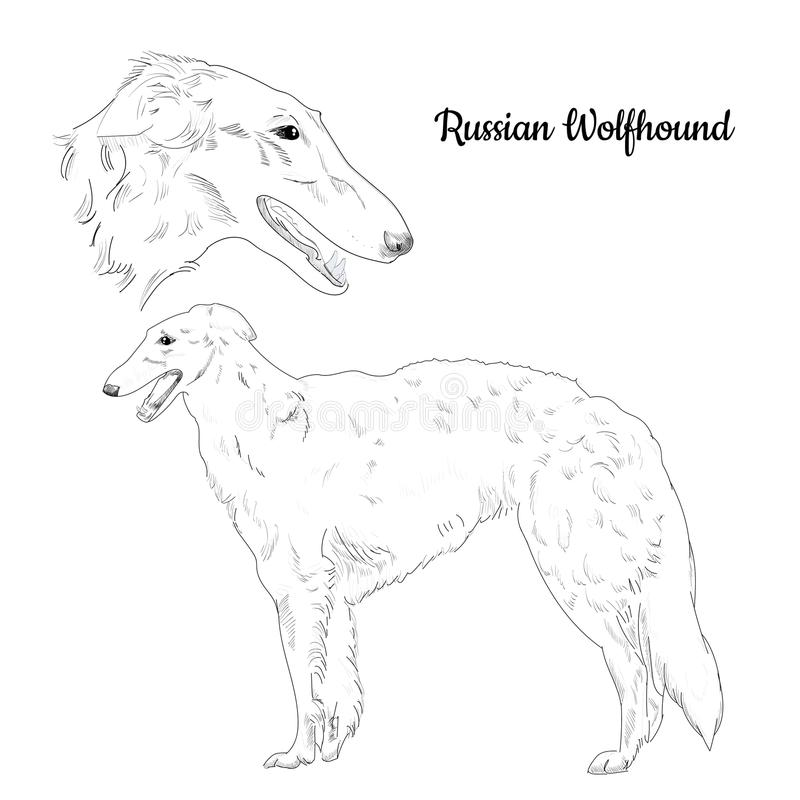 Russian hound hand drawn sketch isolated on white background. Hunting dog breed. Russian borzoi dog portrait. Purebred canine for your design stock illustration