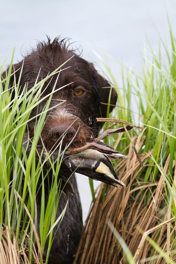 The hunting dog carries the duck in its teeth through the sedge thickets stock images