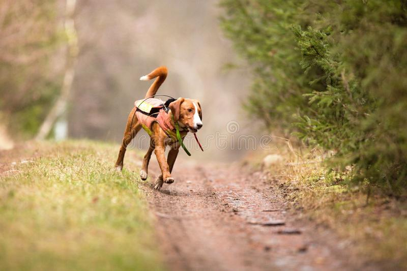 A hunting dog chasing probably a wild boar royalty free stock photography