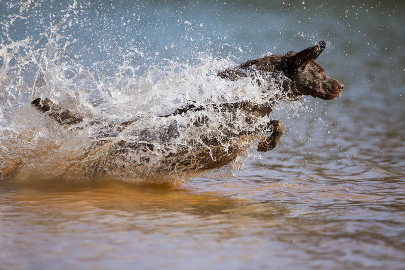 Hunting Dog. A Chocolate Labrador jumps into a lake as he trains to retrieve decoys stock images