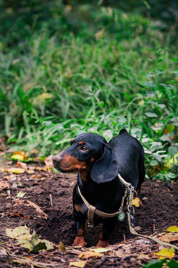Dachshund - a hunting dog royalty free stock image