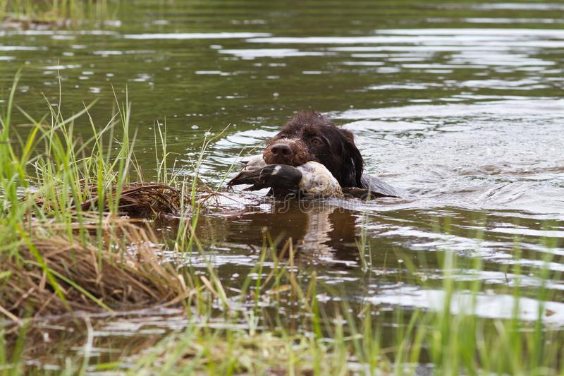 Hunting dog with a duck in his teeth swims to the shore royalty free stock photo