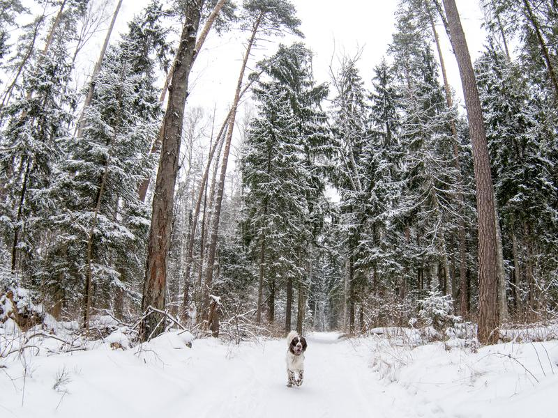 Hunting dog English springer spaniel runs along the trail in the in the winter forest. Hunting dog breed English springer spaniel runs along the trail in the stock images