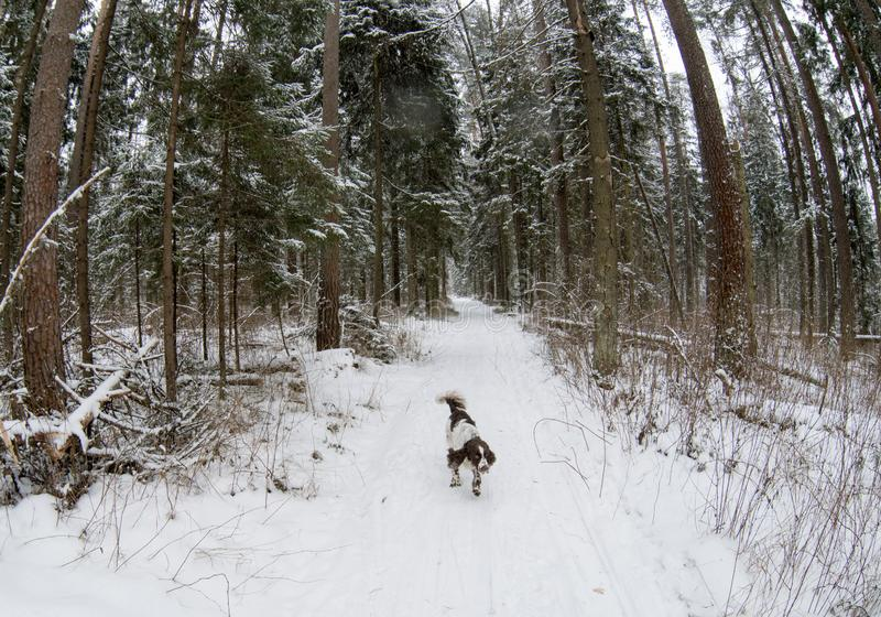 Hunting dog English springer spaniel runs along the trail in the winter forest. Hunting dog breed English springer spaniel runs along the trail in the winter stock images