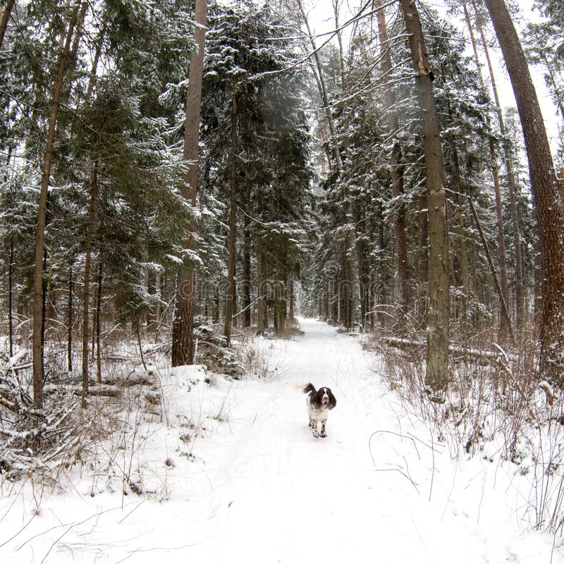 Hunting dog English springer spaniel runs along the trail in the winter forest. Hunting dog breed English springer spaniel runs along the trail in the winter royalty free stock photo