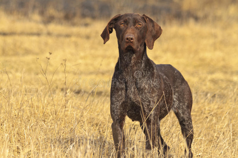 Hunting dog in front stock image