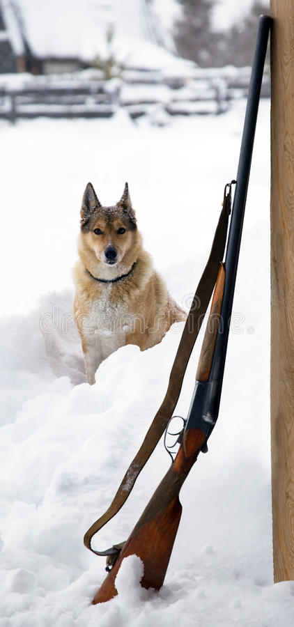 Hunting dog with a gun nearby stock photography