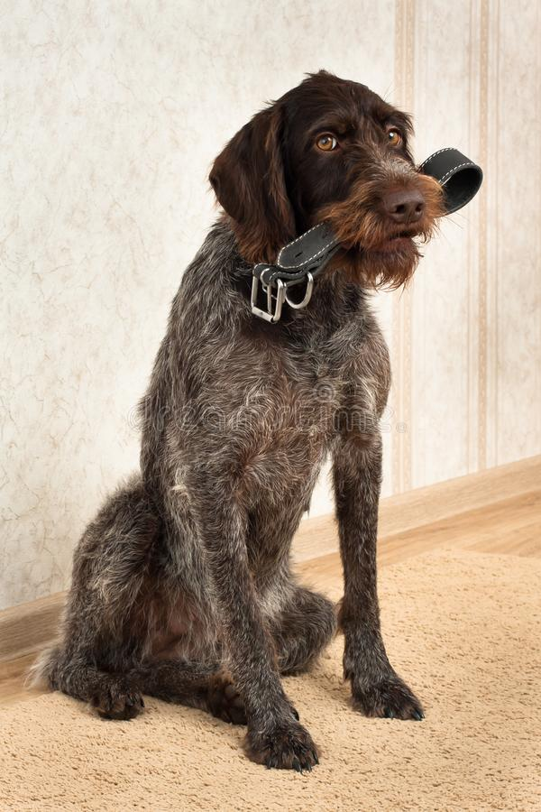 Hunting dog is holding the dog collar. Hunting dog brought his dog collar for the owner stock photos