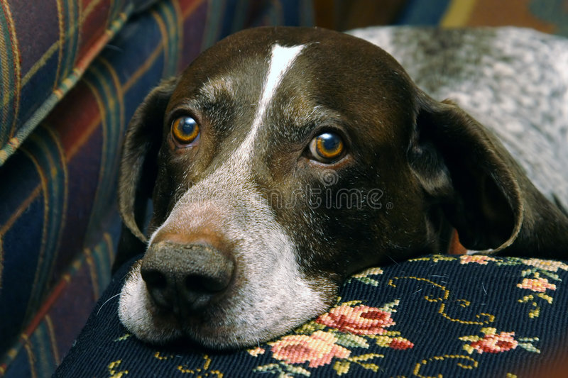 Hunting Dog II royalty free stock photography