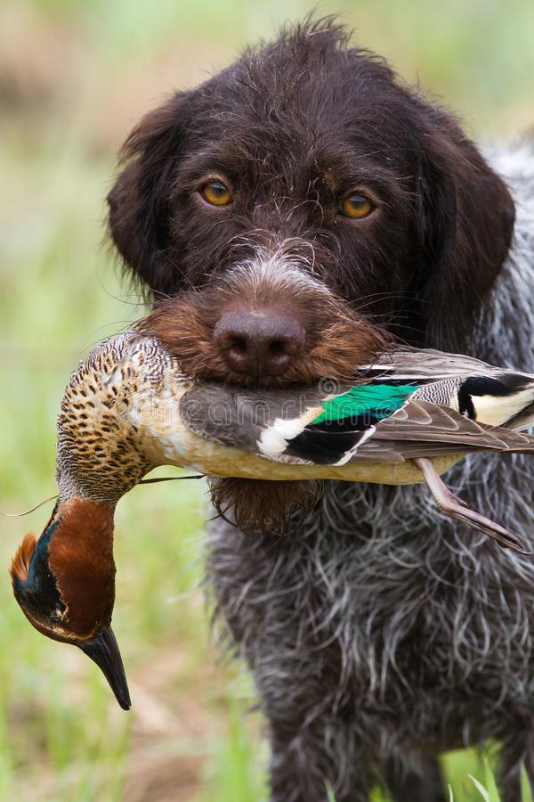 The hunting dog keeps a downed duck in his teeth royalty free stock photography