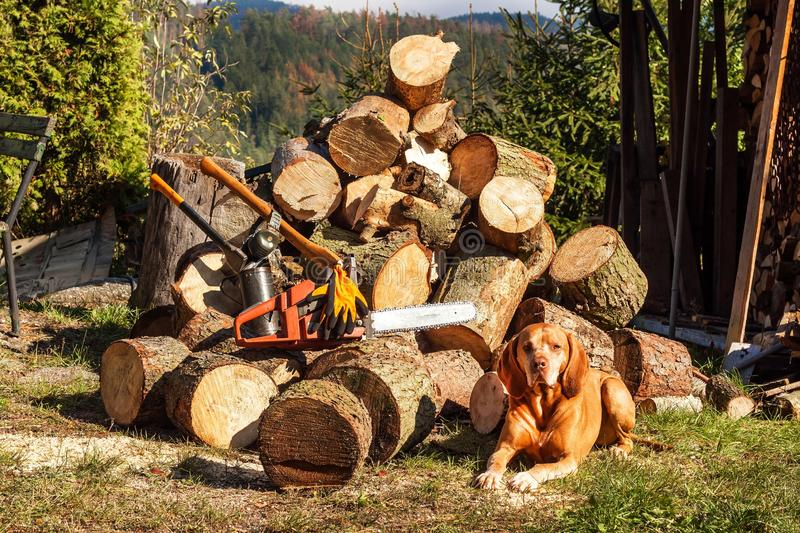 A hunting dog lies near a pile of sawn wood. Preparing firewood for winter. Hungarian Pointer Vizsla. Work on the farm.  royalty free stock photo