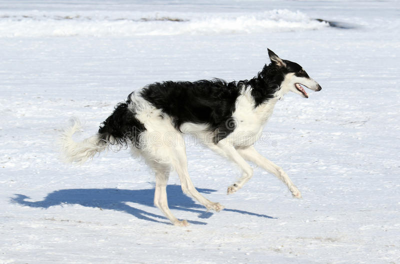 Hunting dog in the movement. Russian canine wolfhound. The dog runs on snow royalty free stock image