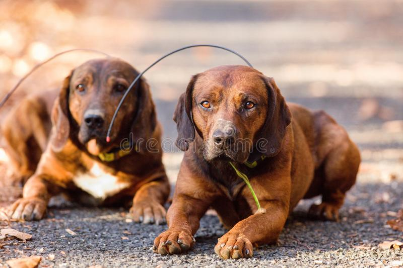 Hunting dog obeying the command `lay down` royalty free stock photos