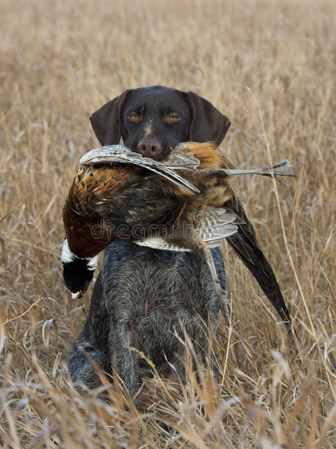 A Hunting Dog with a Pheasant. A Gun dog with a Rooster Pheasant in North Dakota royalty free stock image