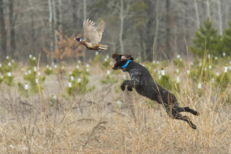 A Hunting Dog with a Pheasant. A Hunting dog leaping to catch a pheasant