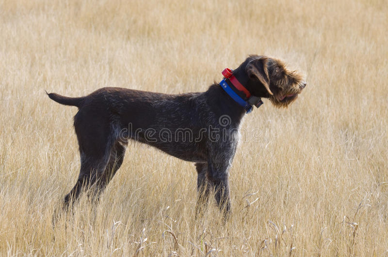 Hunting Dog on Point. Drahthaar Hunting Dog on Point royalty free stock image