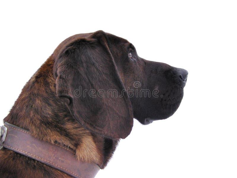 Hunting dog portrait. Isolated on white background stock photo
