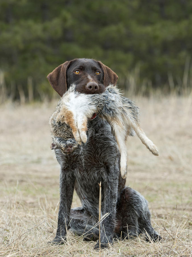 Hunting Dog with a Rabbit stock photo