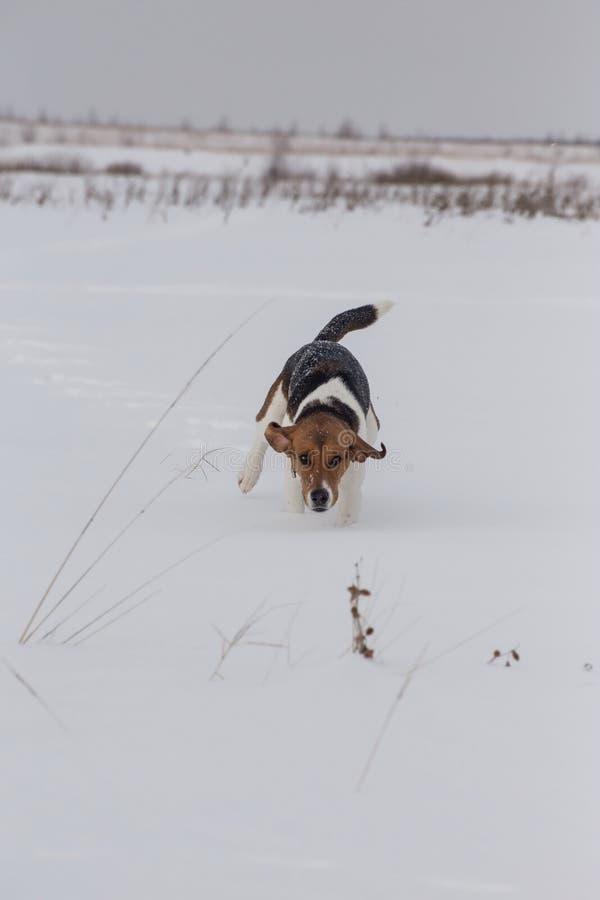 A dog runs along the field. royalty free stock photo