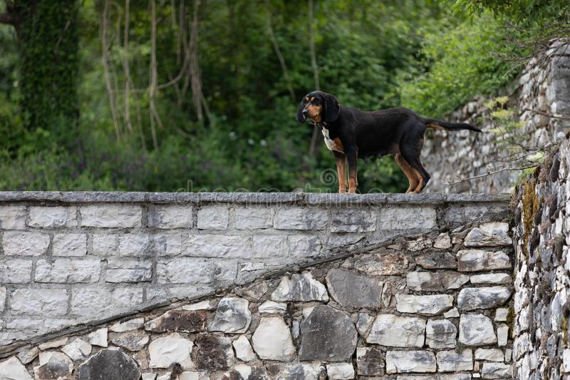 Hunting dog standing guard on a wall. Mixed breed hunting dog standing guard on an old rock wall in an abandoned Greek village royalty free stock photos