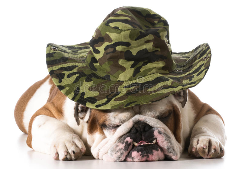 Download Hunting dog stock photo. Image of funny, mouth, camo - 42361792