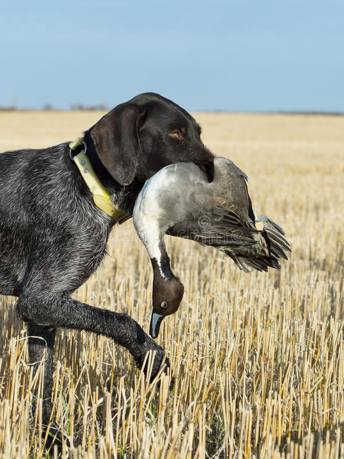 Free Hunting Dog With A Duck Royalty Free Stock Photo - 36705235