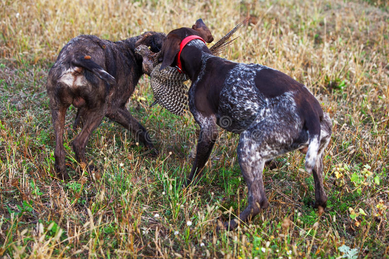 Download Hunting dogs stock photo. Image of animal, attentive - 27350772