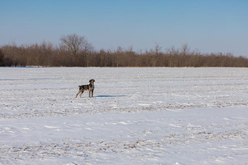 Hunting Drathaar in winter, German dog is taking a trail royalty free stock photo