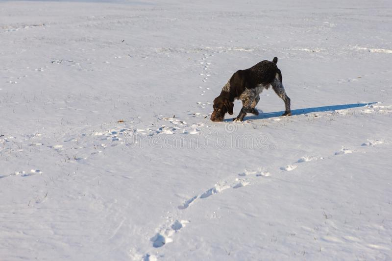 Hunting Drathaar in winter, German dog is taking a trail stock image