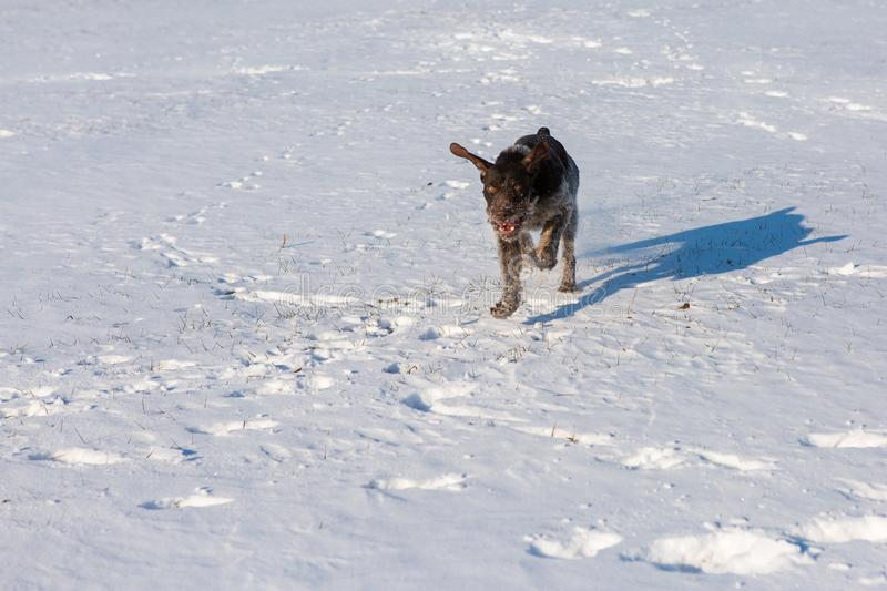 Hunting Drathaar in winter, German dog is taking a trail royalty free stock image
