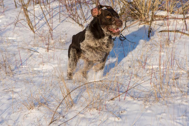 Hunting Drathaar in winter, German dog is taking a trail stock images