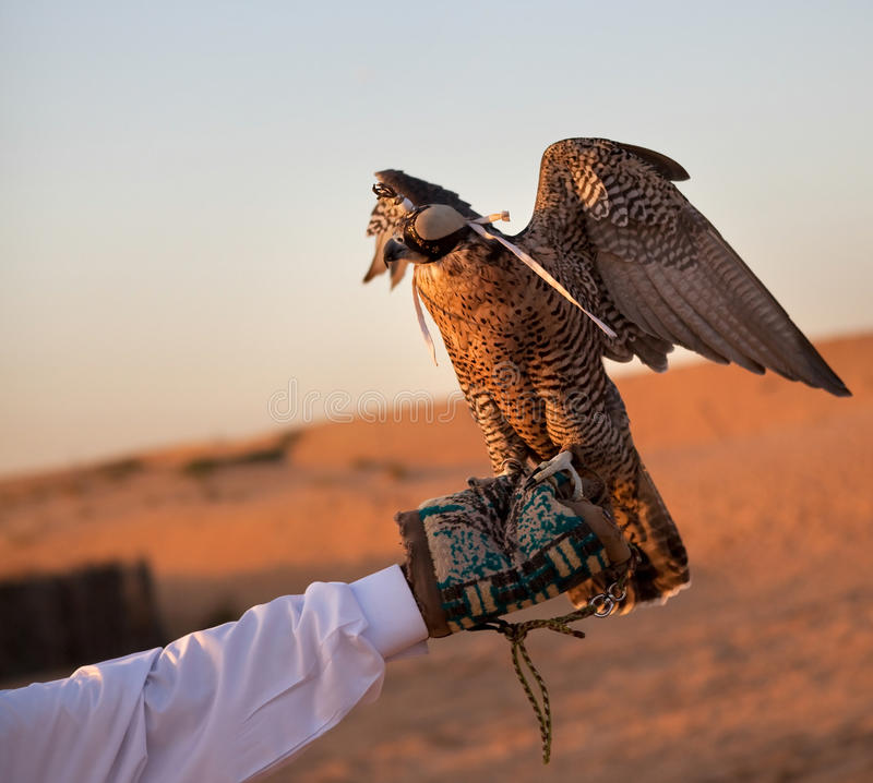 Hunting falcon royalty free stock photography