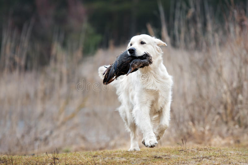 Hunting golden retriever dog carrying a duck royalty free stock photography