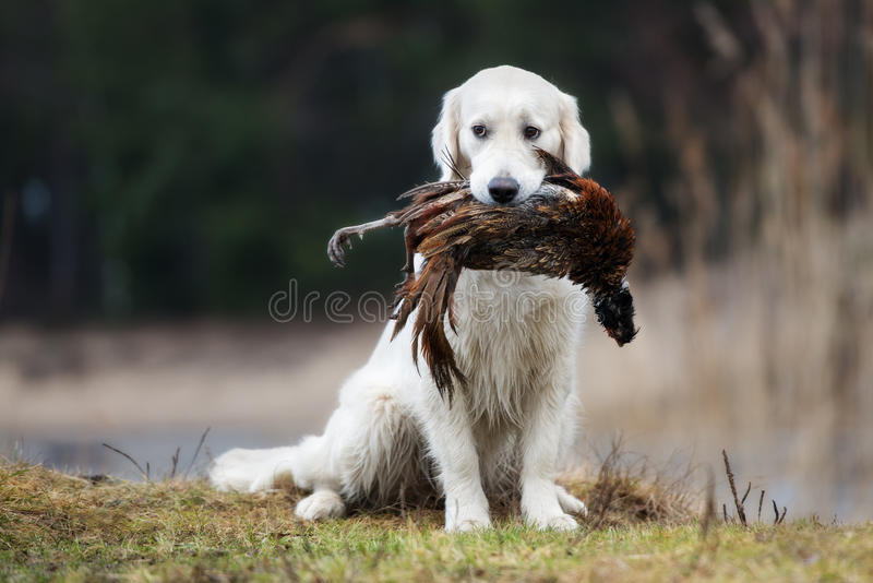 Hunting golden retriever dog carrying a pheasant stock images