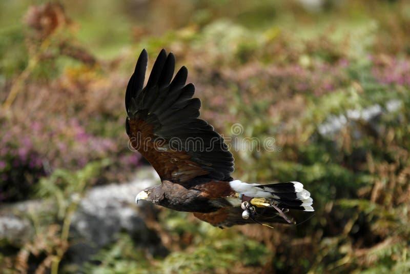 Hunting Harris Hawk royalty free stock images