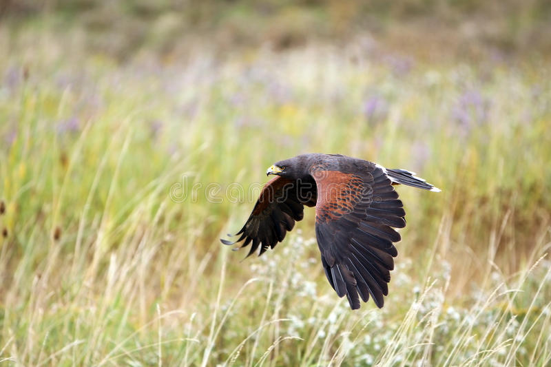 Download Hunting Hawk stock image. Image of prey, watching, staring - 11303981