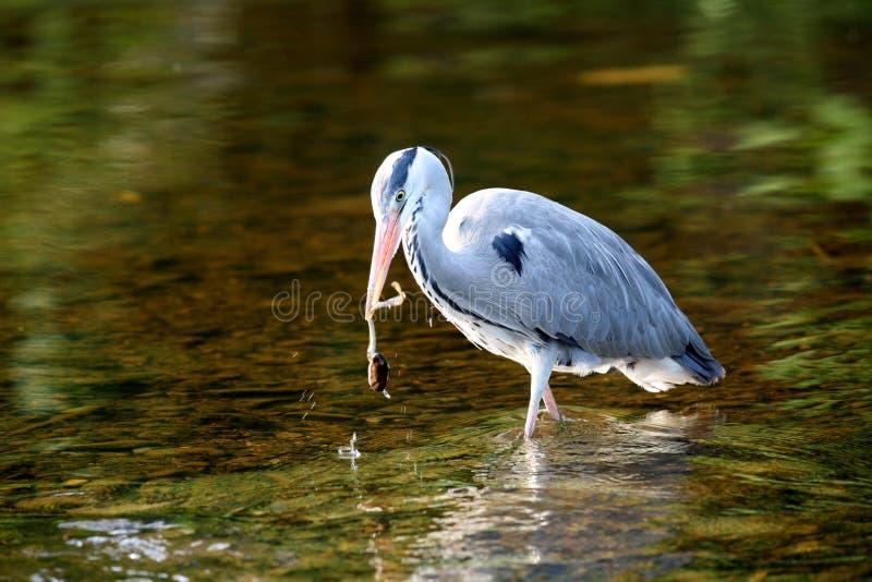 Download A Hunting Heron. Royalty Free Stock Photo - Image: 11481335