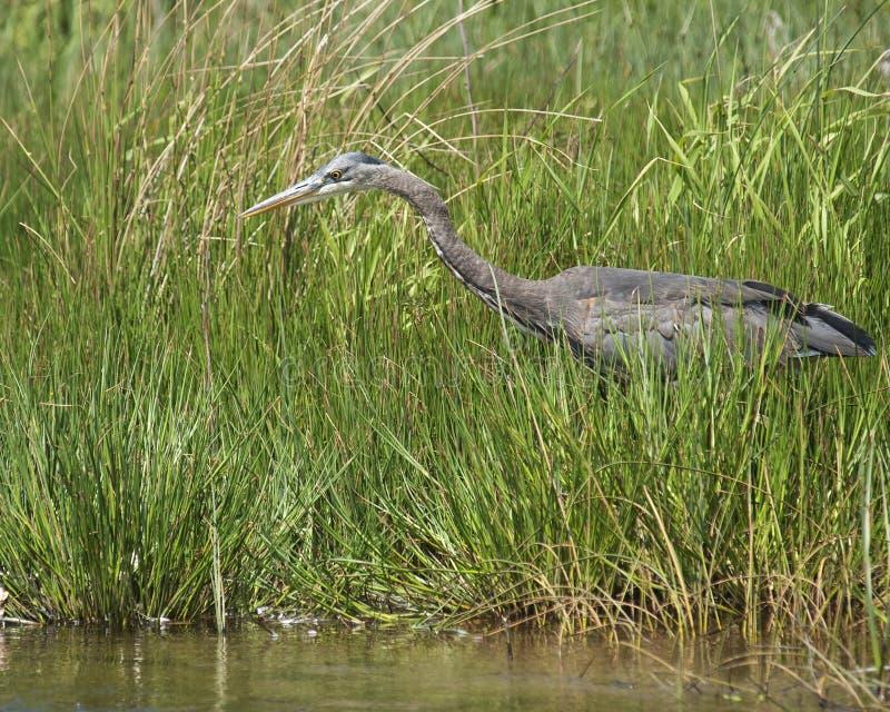Hunting Heron Stock Photo