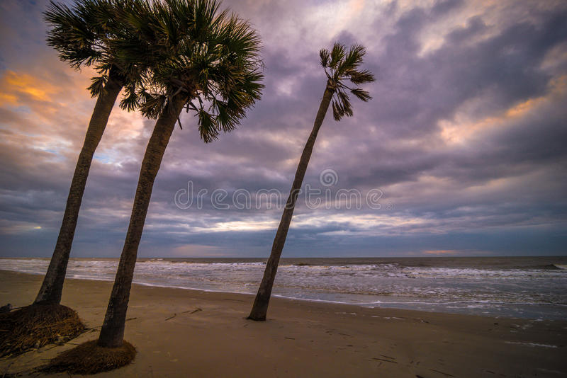 Hunting Island Palmetto Tree. Palmetto trees along the beach as the colors of the sunrise light up the sky at Hunting Island State park near Beaufort, South royalty free stock images