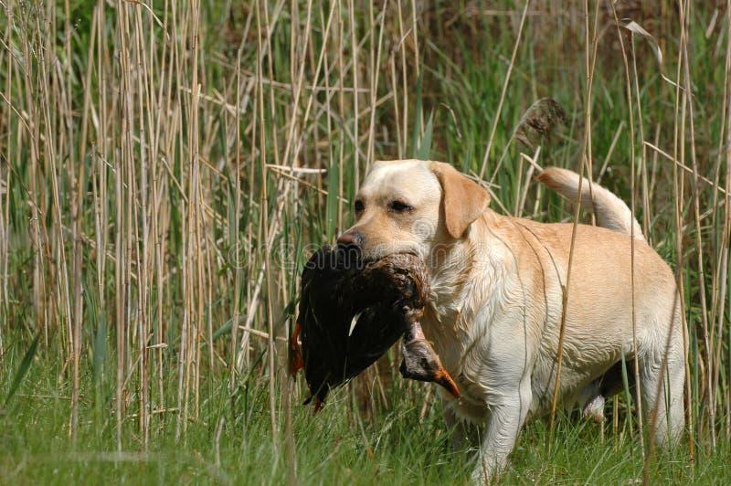 Hunting labrador retriever. Portrait with bird stock photo