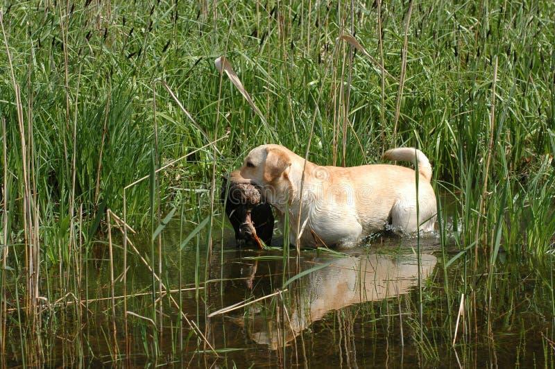 Hunting labrador retriever. Portrait with bird royalty free stock photography