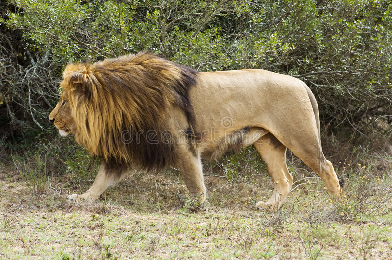 Hunting Lion royalty free stock images