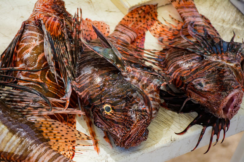 Hunting the lionfish royalty free stock image