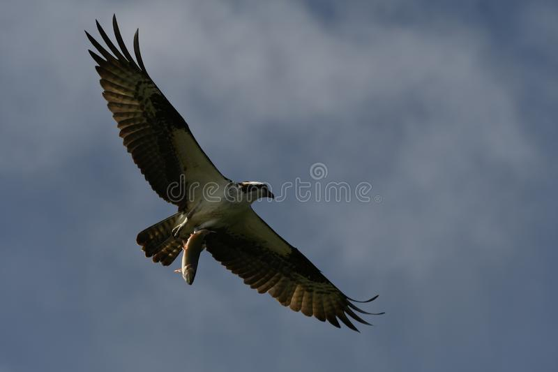 Hunting Osprey clutching big fat fish. An osprey carries a large trout it plucked from a mountain lake in the Oregon Cascades. These large raptors, Pandion royalty free stock images