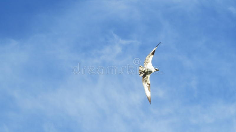 A Hunting Osprey stock photography
