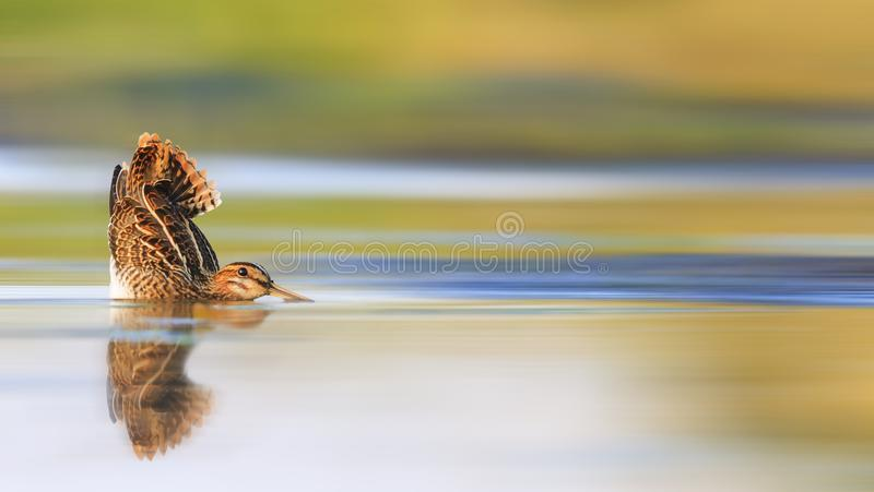 Hunting picture, snipe in water with a raised tail royalty free stock photo