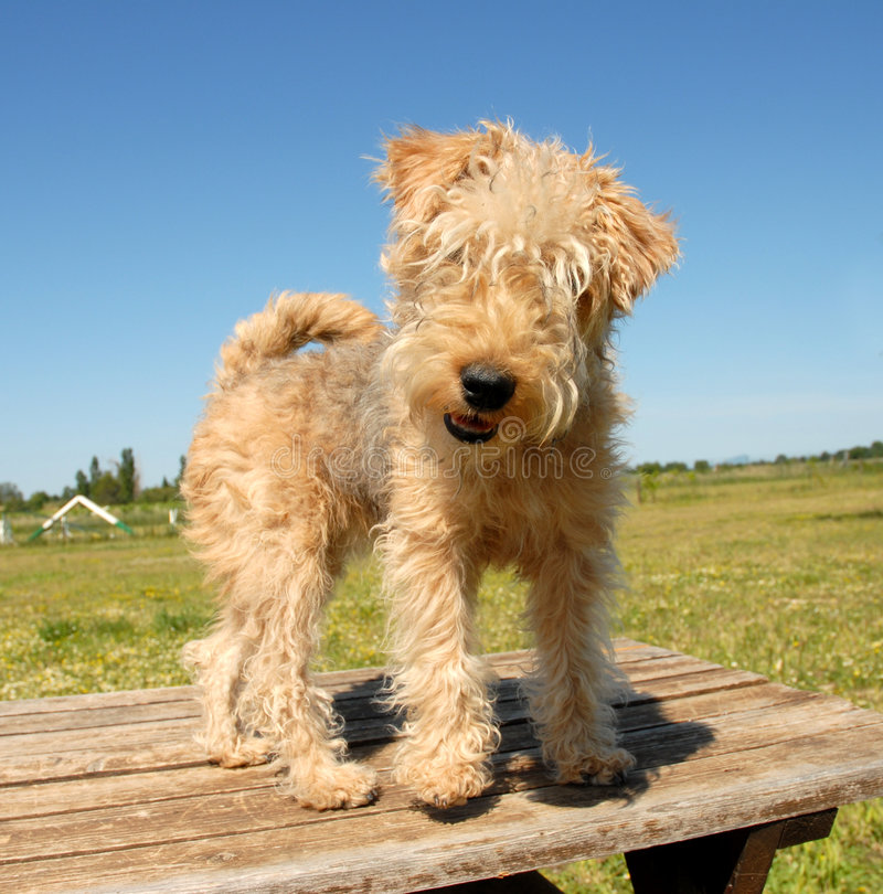 Hunting puppy terrier royalty free stock photo