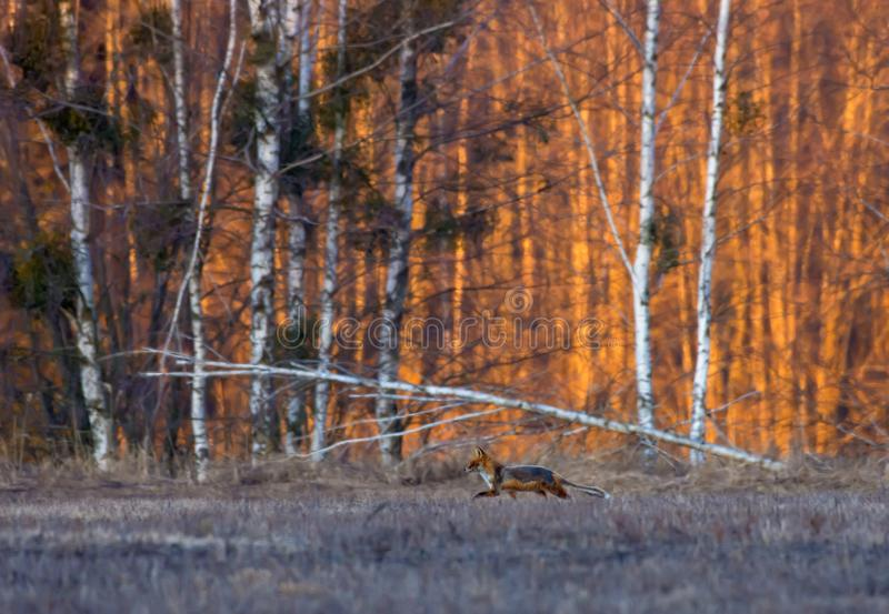 Running Red fox hunts in grass in search of food at the morning sunrise with very bright colors stock photography