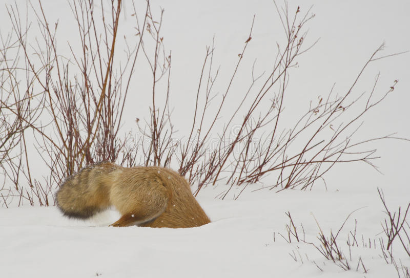 Hunting red fox royalty free stock images