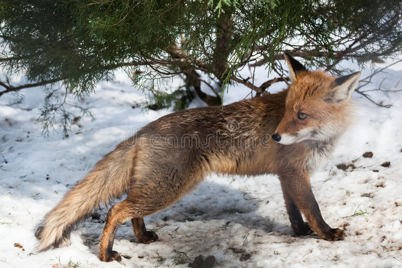 Standing red fox in winter. Hunting red fox in winter forest looking back stock image